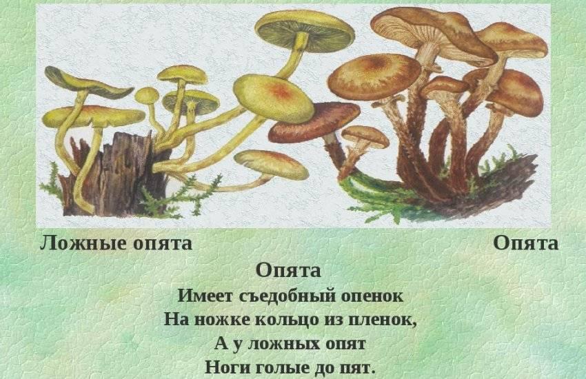 Сколько времени растет гриб опенок