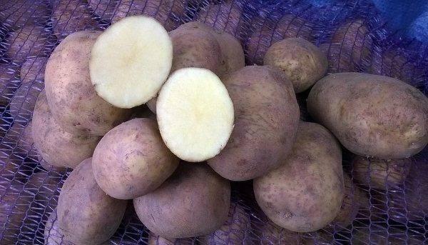 Картофель винета: описание сорта, отзывы (фото)
