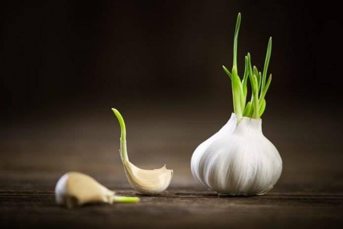 Посадка ярового чеснока весной в открытый грунт: когда и как сажать, сроки, правила выращивания, уход до сбора урожая