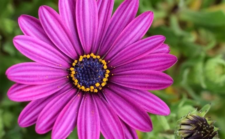 Остеоспермум - выращивание из семян в домашних условиях, посадка и уход