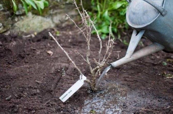 Когда пересаживать крыжовник на новое место: осенью или весной