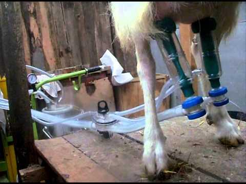 Станок для доения коз: как сделать своими руками — selok.info