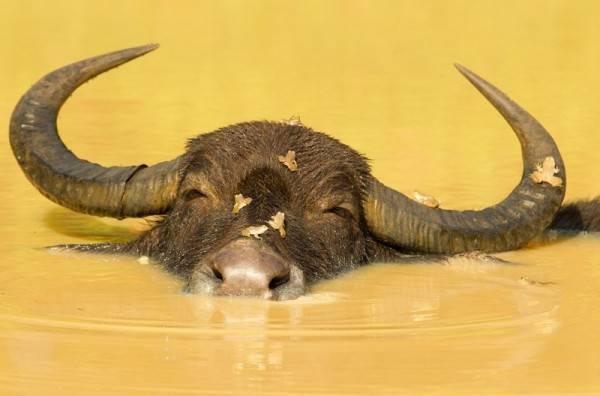 Что представляет собой индийский буйвол
