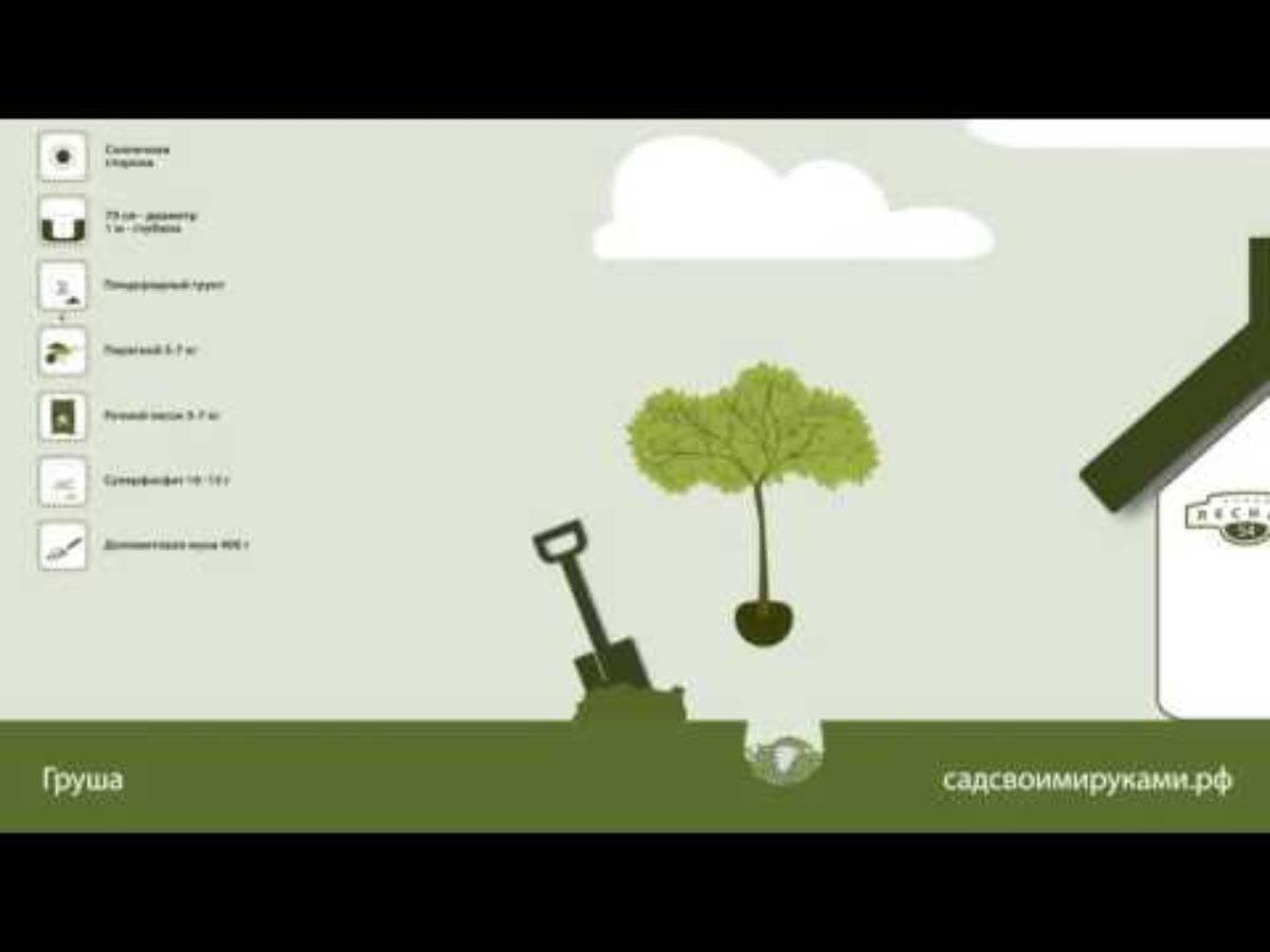 Как правильно посадить грушу весной: как сажать грушу, пошаговое руководство по посадке и уходу