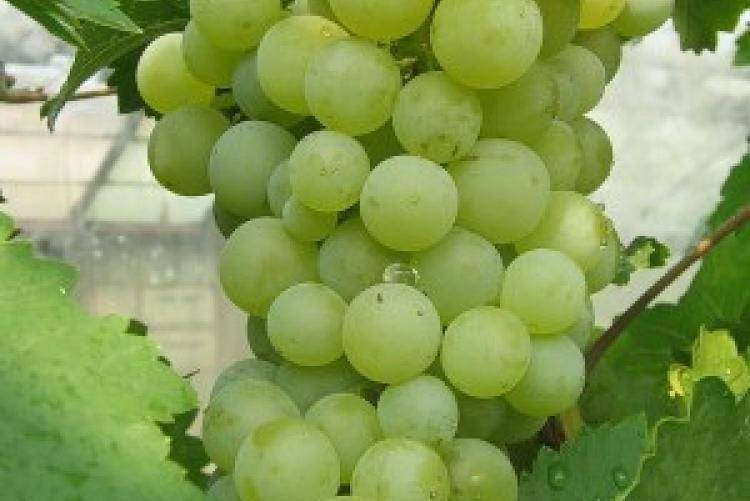 Особенности винограда шахтер - дневник садовода semena-zdes.ru