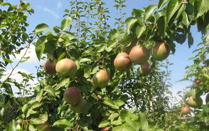 Гордость вашего сада — груша россошанская красивая!