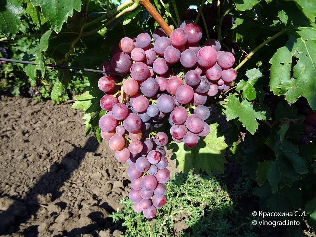 Сорт винограда кардинал: описание, фото