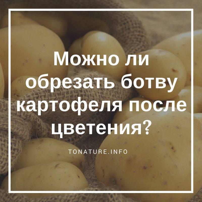 Что делать, если у картофеля высокая ботва, когда можно ее срезать