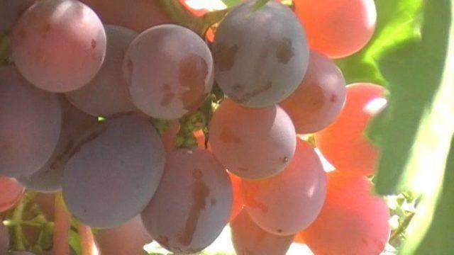 Виноград дарья описание сорта фото отзывы видео