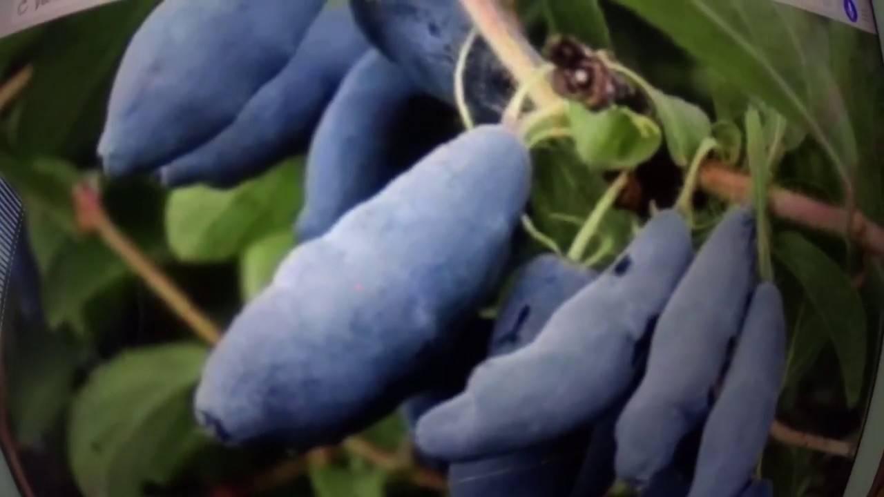 Жимолость – желанная северянка. выращивание. посадка, уход, сорта. фото — ботаничка.ru