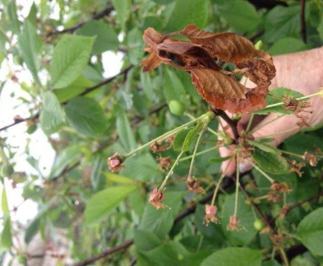 Сохнут листья и ветки на вишне: в чем причина и как устранить проблему?