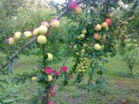 Яблоня аркадик: описание сорта, посадка, уход