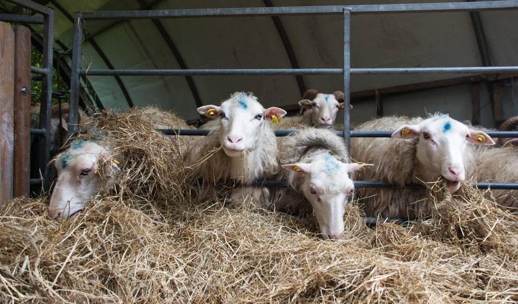 Чем кормить овец и баранов в домашних условиях, правильное кормление, как питается овца