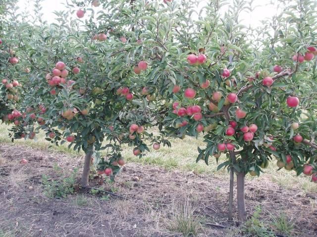 Яблоня «флорина»: описание сорта, фото и отзывы