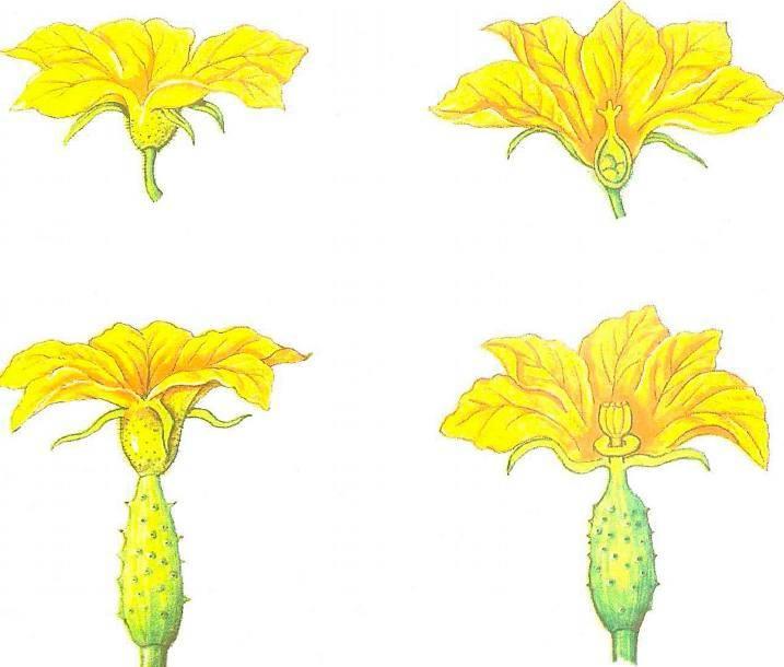 Цветок огурца мужской и женский   вырасти сад!