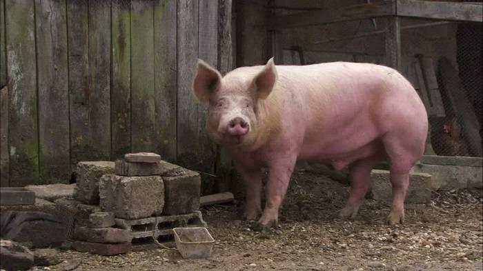 Содержание и уход за свиньями в домашних условиях