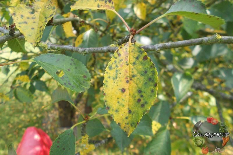 Меры борьбы с болезнями и вредителями вишни: лечение и обработка