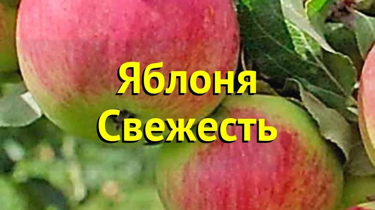 Яблоня свежесть: описание сорта, преимущества и недостатки, химический состав и вкус плодов, правила посадки и ухода, сроки сбора, условия хранения урожая