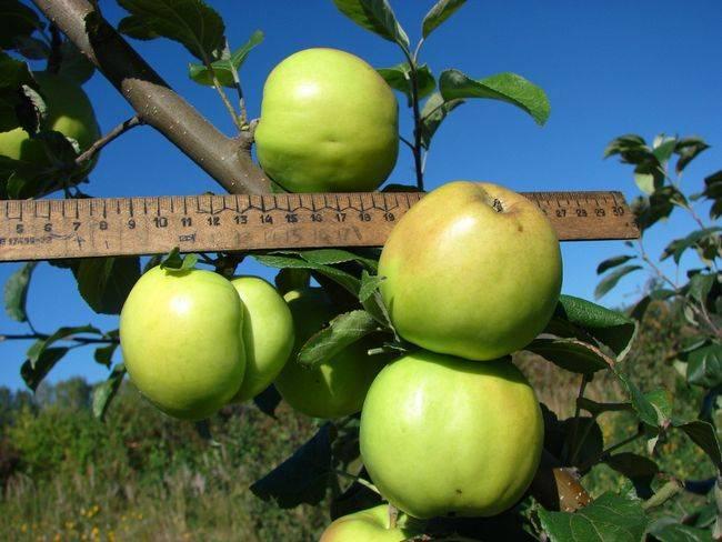 Особенности выращивания карликовой яблони чудное