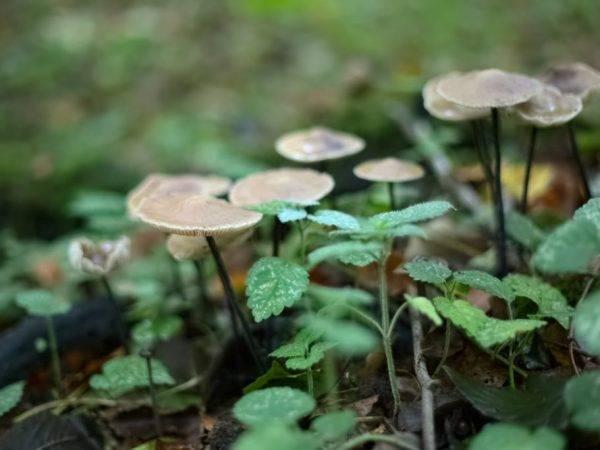 Чесночник большой — съедобный гриб с оригинальным вкусом | огородники