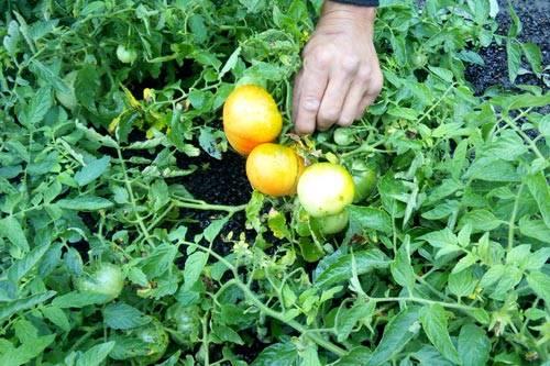 Подкормка помидоров во время цветения и плодоношения - средства и способы для получения богатого урожая
