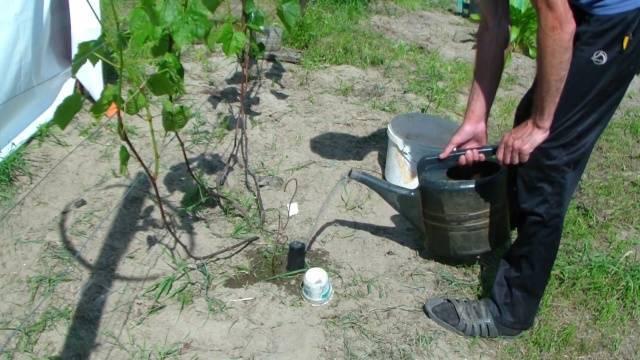 Виноград сорт белое чудо: описание, преимущества и недостатки