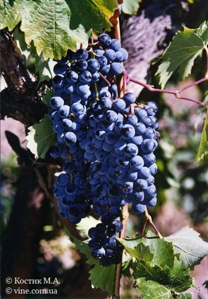 Ливадийский черный виноград описание и характеристика сорта, выращивание и уход, болезни