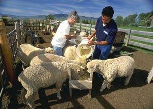 Разведение овец в домашних условиях | cельхозпортал