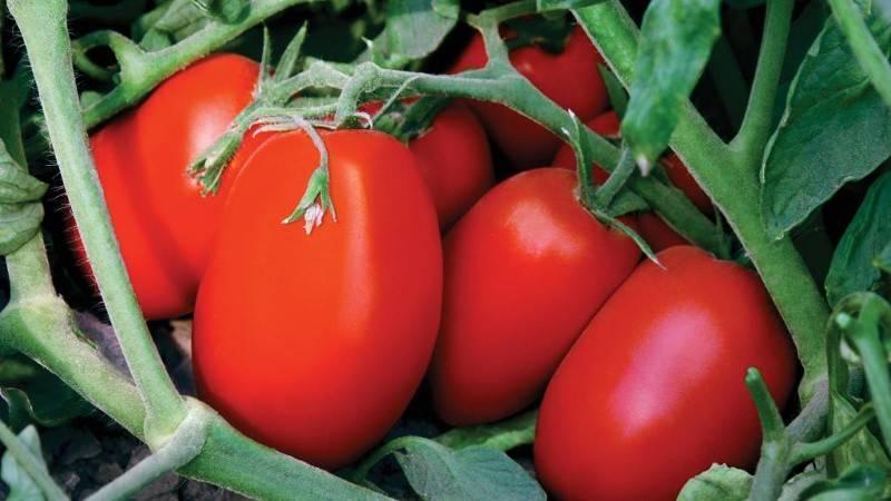 Сибирское чудо: описание сорта томата, характеристики помидоров, посев