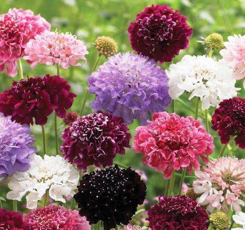 Скабиоза посадка и уход в открытом грунте скабиоза выращивание из семян скабиоза многолетняя фото цветов