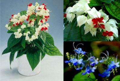 Почему не цветет клеродендрум?
