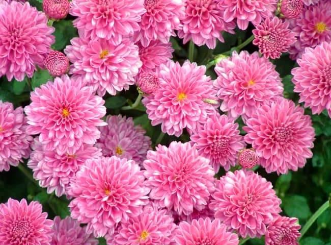 Как сохранить хризантемы зимой: способы хранения в саду и дома