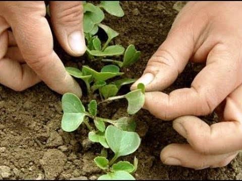 Сроки выращивания редиски: когда и как сажать весной в открытый грунт?