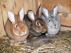 Особенности разведения кроликов в домашних условиях | cельхозпортал