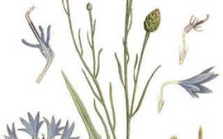 Как вырастить садовые васильки из семян