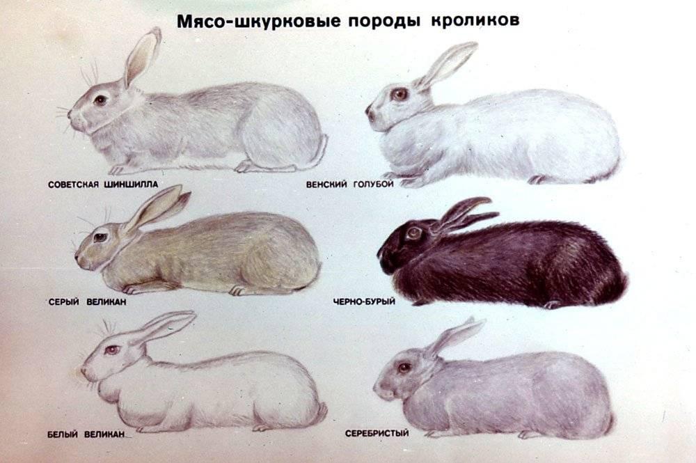 Достоинства и недостатки кроликов полтавское серебро