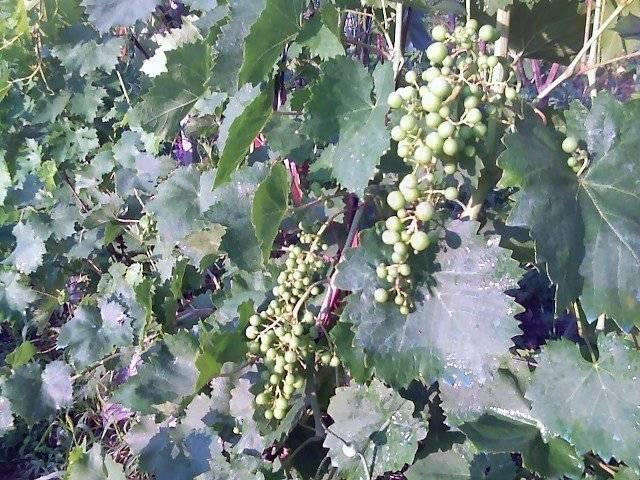 Описание винограда сорта рута с отзывами садоводов — любителей
