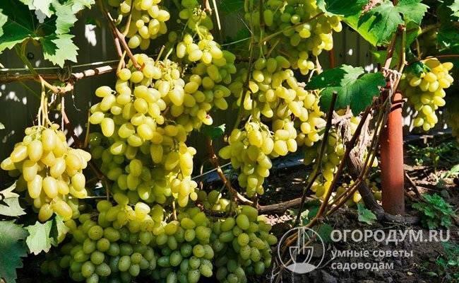 Виноград аркадия (настя): описание сорта, характеристика