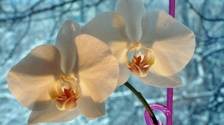 Полив орхидеи: как поливать во время цветения и после, сколько раз в неделю, какой водой