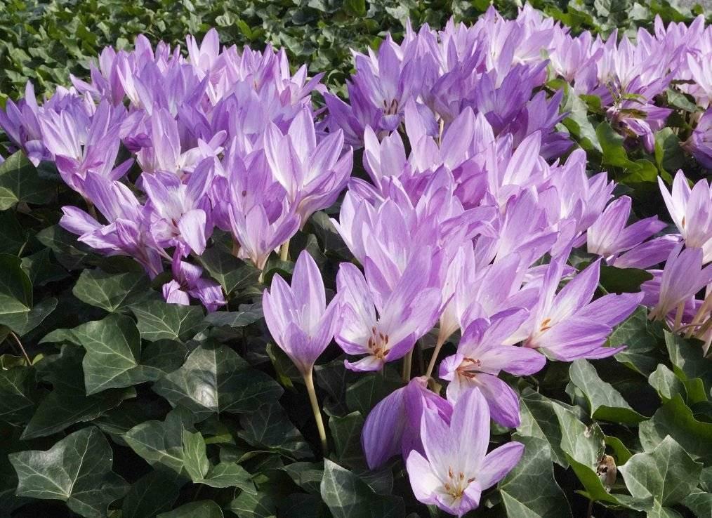 Безвременник - фото цветка, посадка и уход, описание растений, лечебные свойства