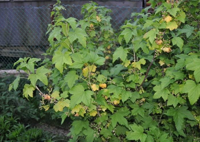 Что делать, если желтеют листья у смородины???   красивый дом и сад