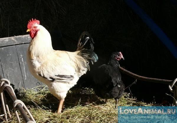Юрловская голосистая порода кур: описание, фото, отзывы