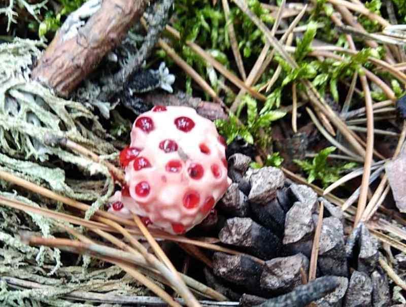 Где растет гриб «кровавый зуб»