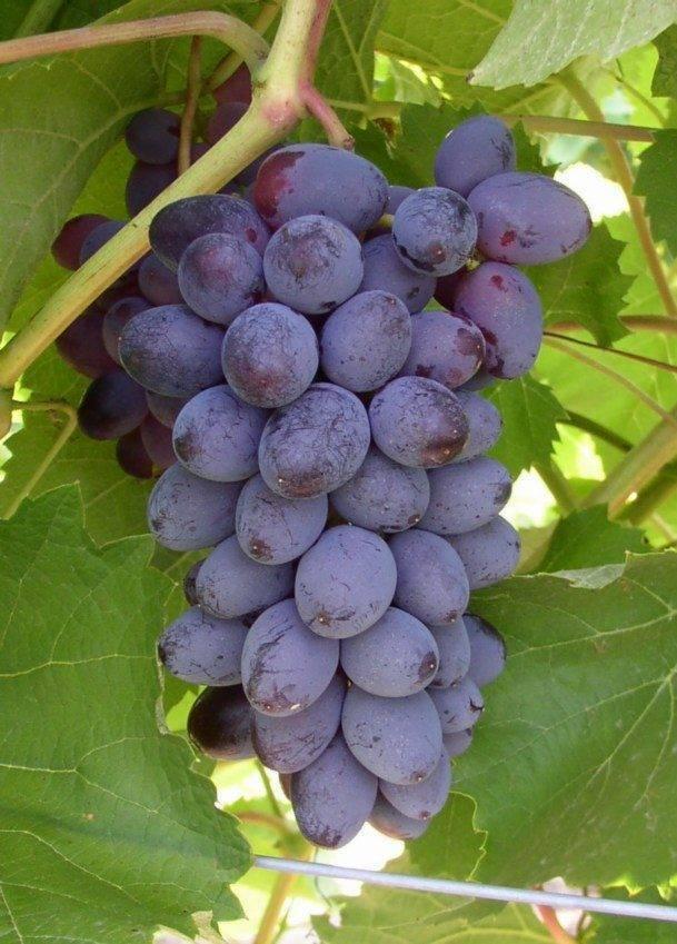Виноград юпитер: описание сорта, фото и уход за ним
