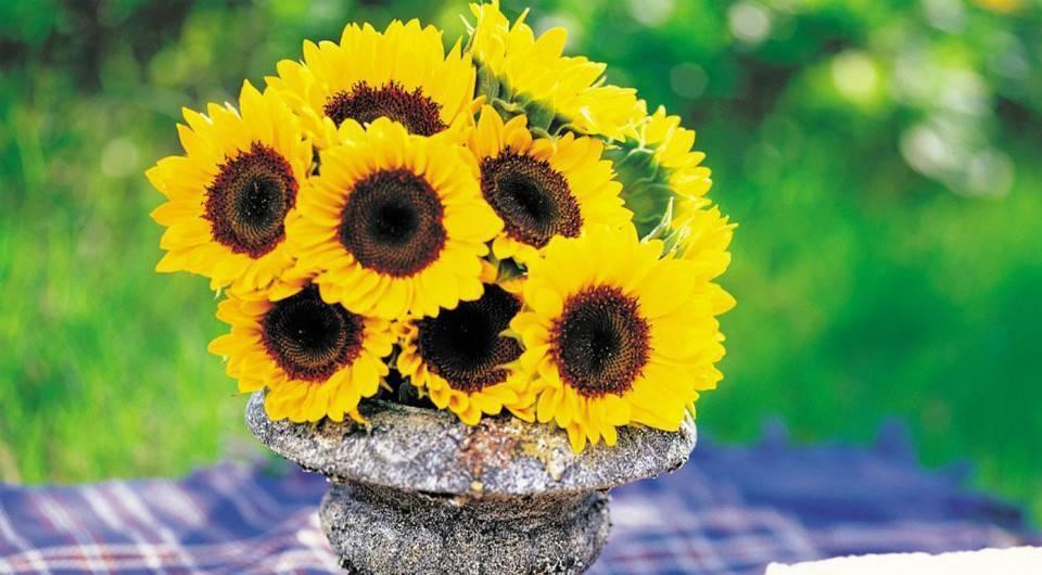 Декоративный подсолнечник: посадка и выращивание подсолнуха в саду