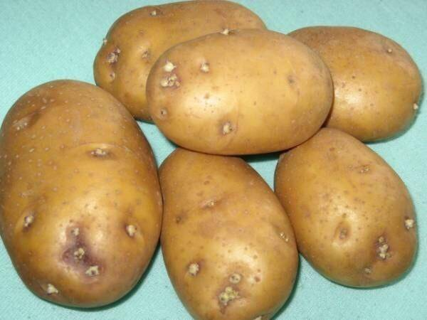 Картофель колобок: описание сорта и характеристика, фото и отзывы об урожайности, вкусовые качества, сроки созревания и хранения, посадка и уход