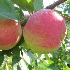 Сорт яблок ренет черненко: полное описание и все преимущества, фото selo.guru — интернет портал о сельском хозяйстве
