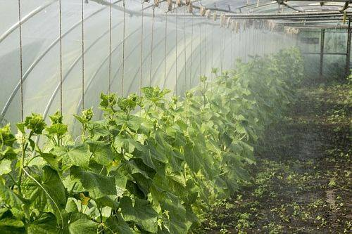Как выращивать огурцы в теплице из поликарбоната. технология ухода за огурцами.