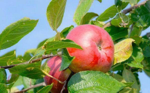 Яблоня аркадик — описание сорта, фото, отзывы