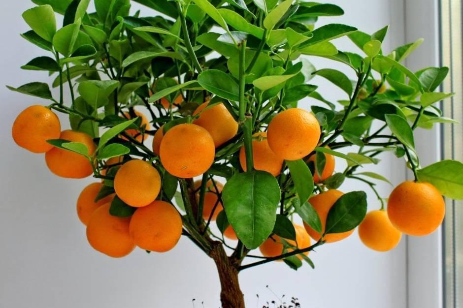 Лайм - посадка, выращивание, уход, особенности
